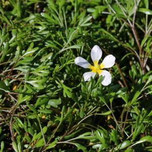 Photographie n°93138 du taxon Ranunculus fluitans Lam. [1779]