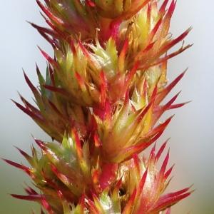 Amaranthus hybridus L. (Amarante hybride)