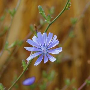Photographie n°93159 du taxon Cichorium intybus subsp. intybus