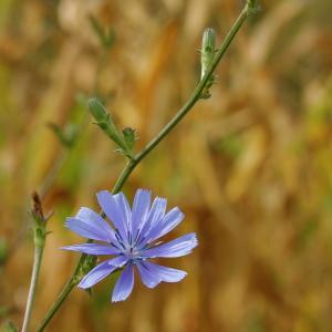 Photographie n°93160 du taxon Cichorium intybus subsp. intybus