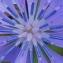 Marie  Portas - Cichorium intybus subsp. intybus