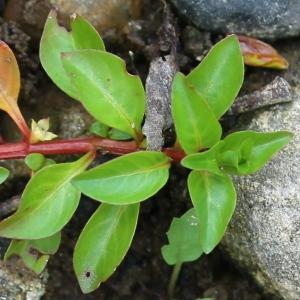 Photographie n°93189 du taxon Ludwigia repens Sw. [1788]