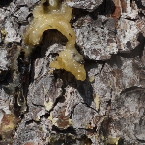 Photographie n°93297 du taxon Pinus halepensis Mill. [1768]
