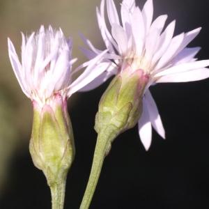 Tripolium pannonicum subsp. tripolium (L.) Greuter (Aster maritime)