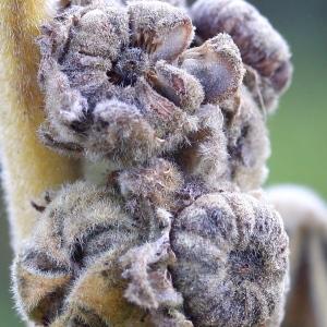 Photographie n°93414 du taxon Althaea officinalis L. [1753]