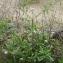 Liliane Roubaudi - Sixalix atropurpurea subsp. maritima (L.) Greuter & Burdet [1985]