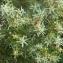 Liliane Roubaudi - Juniperus oxycedrus L.