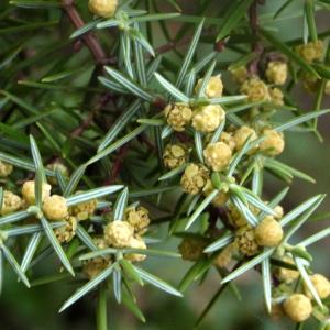 Juniperus oxycedrus L. (Cade)