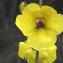 Liliane Roubaudi - Verbascum sinuatum L.