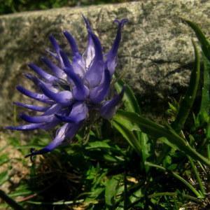 Phyteuma serratum Viv. (Raiponce à feuilles dentées en scie)