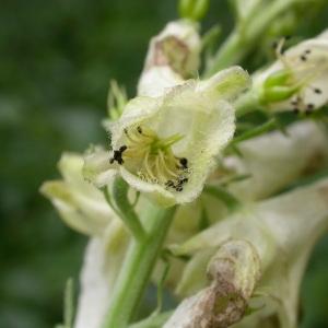 Photographie n°93708 du taxon Aconitum vulparia Rchb. [1819]