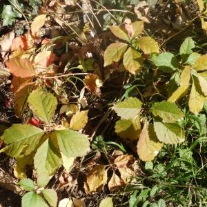 Photographie n°93792 du taxon Parthenocissus quinquefolia (L.) Planch. [1887]