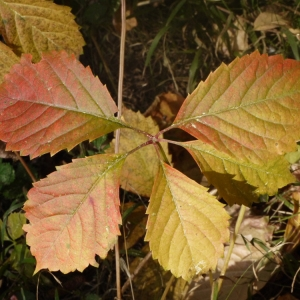 Photographie n°93793 du taxon Parthenocissus quinquefolia (L.) Planch. [1887]