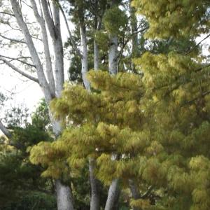 Photographie n°93806 du taxon Pinus wallichiana A.B.Jacks. [1947]