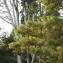 Liliane Roubaudi - Pinus wallichiana A.B.Jacks. [1947]