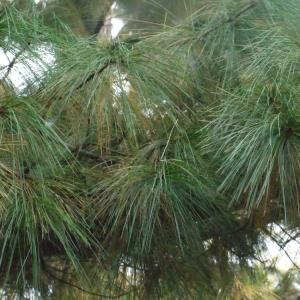 Photographie n°93809 du taxon Pinus wallichiana A.B.Jacks. [1947]