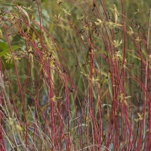 Photographie n°93945 du taxon Euphorbia palustris L. [1753]