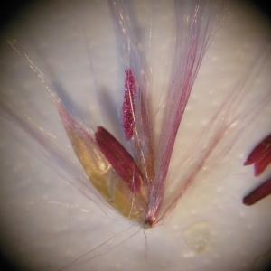 Miscanthus sinensis Andersson (Miscanthus de Chine)