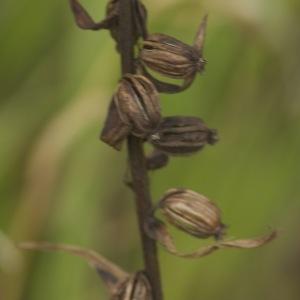 Photographie n°93980 du taxon Epipactis helleborine (L.) Crantz [1769]