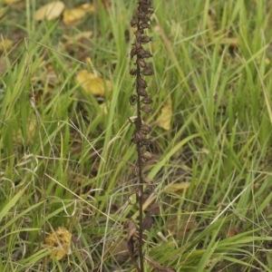 Photographie n°93981 du taxon Epipactis helleborine (L.) Crantz [1769]