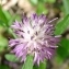 Paul Fabre - Centaurea aspera L.
