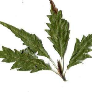 Photographie n°94013 du taxon Fagus sylvatica ssp. asplenifolia