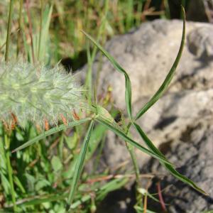 Photographie n°94047 du taxon Trifolium angustifolium L. [1753]