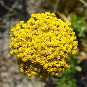 Achillea ageratum L. (Achillée à feuilles d'agératum)