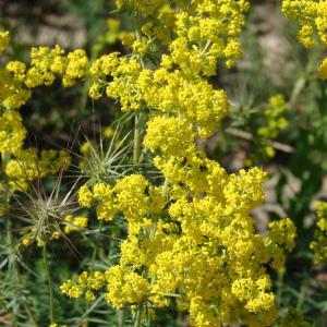 Galium verum L. (Caille-lait jaune)