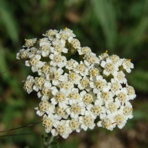 Achillea odorata L. (Achillée odorante)