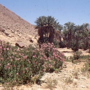 Photographie n°94098 du taxon Nerium oleander L. [1753]