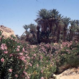 Photographie n°94099 du taxon Nerium oleander L. [1753]