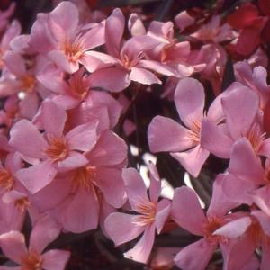 Photographie n°94100 du taxon Nerium oleander L. [1753]