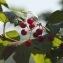 Claire Sutter - Viburnum opulus L.