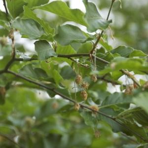 Photographie n°94200 du taxon Fagus sylvatica L.