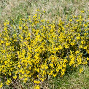 Photographie n°94227 du taxon Genista anglica L.