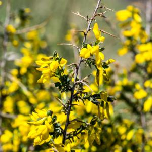 Photographie n°94228 du taxon Genista anglica L.