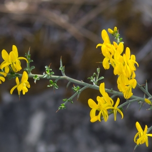 Photographie n°94229 du taxon Genista anglica L.