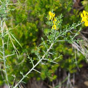 Photographie n°94230 du taxon Genista anglica L.