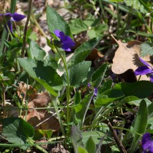 Photographie n°94245 du taxon Viola hirta L. [1753]