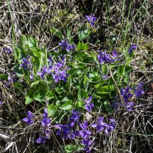 Photographie n°94249 du taxon Viola hirta L. [1753]