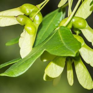 Photographie n°94253 du taxon Acer monspessulanum L. [1753]