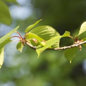 Photographie n°94304 du taxon Prunus avium (L.) L. [1755]