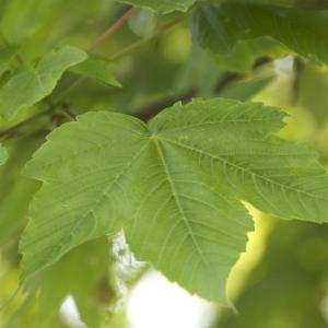 Photographie n°94316 du taxon Acer pseudoplatanus L.