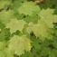 Claire Sutter - Acer platanoides L. [1753]