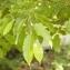 Claire Sutter - Carpinus betulus L.