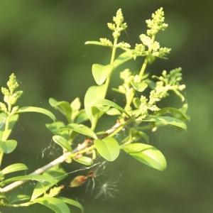 Photographie n°94361 du taxon Ligustrum vulgare L. [1753]