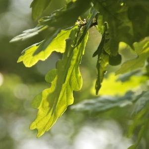 Photographie n°94400 du taxon Quercus robur L. [1753]