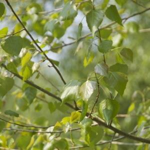 Photographie n°94405 du taxon Populus nigra L.
