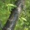 Claire Sutter - Prunus avium (L.) L. [1755]